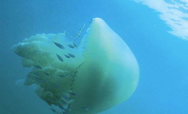 N246_Quelle-meduse-demain