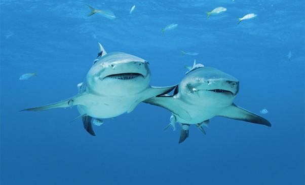 N250_Shark-Alliance
