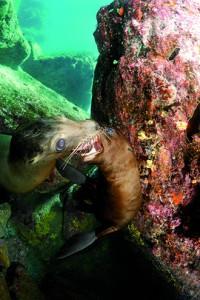 94b_Lion de mer_ Denise Ruhlmann_Mexique
