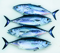 9494575 - bluefin four tuna fish thunnus thynnus catch in a row