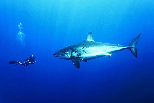 Un plongeur avec un grand requin blanc - A diver with a great white shark