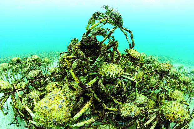 Rassemblement de crabes araignées de mer - Aggregation of spider crabs