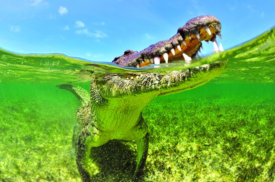 Gros plan d'un crocodile américain- A close-up of an American crocodile