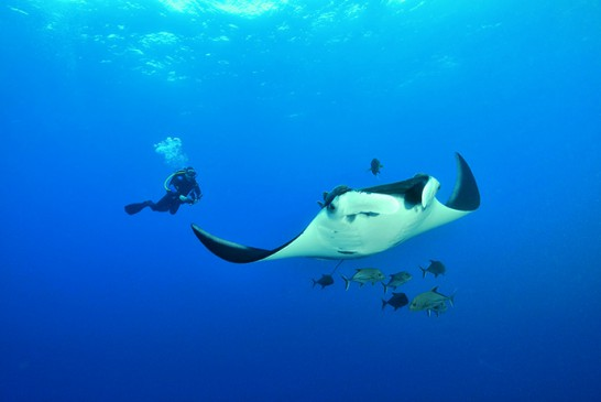Un plongeur avec une raie manta dans le bleu - A diver with a giant manta ray in the open water