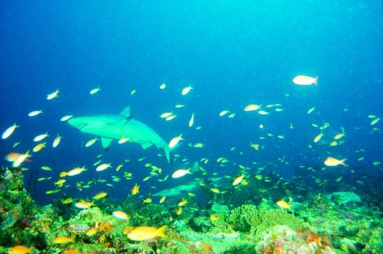 Requin gris ou dagsit nettoyé par des labres nettoyeurs - Grey reef shark cleaned by cleanerfish