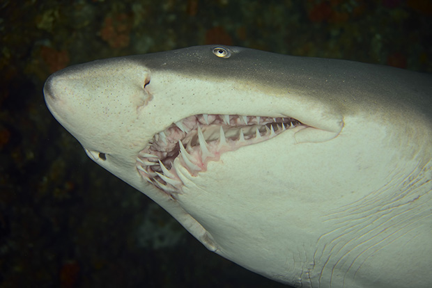 Gros plan de la gueule d'un requin-taureau - A close-up of the mouth of a ragged tooth shark