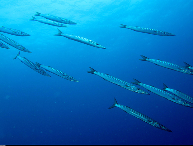 barracudas_JDumas copie