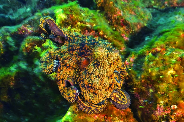 Un poulpe commun des Galapagos - A Galapagos reef octopus