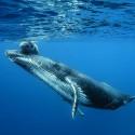 Dans l'intimité des baleines