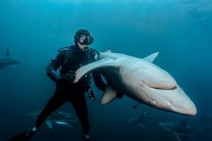 2018_Immobilité-tonique-requin-borde_David-Guillemet_subaqua