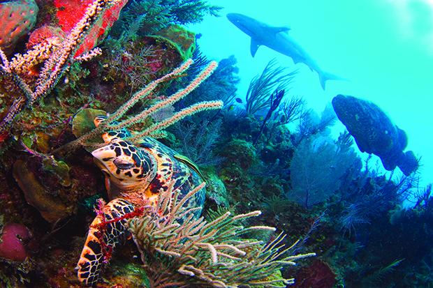 01 Ouverture -Tortue imb., loche, requin Cuba
