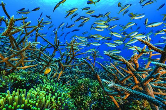 Coraux Acropora sp. et poissons clown