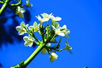 G. DI RAIMONDO - fleur de tiare copie