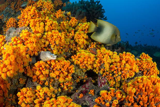 112-Poisson-ange-du-Ghana---Holacanthus-africanus-et-Murène-à-pois---Muraena-melanotis-et-Corail-tubastré-dorée---Tubastrea-aurea-copie