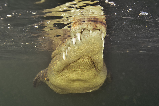 Un crocodile américain- An American crocodile