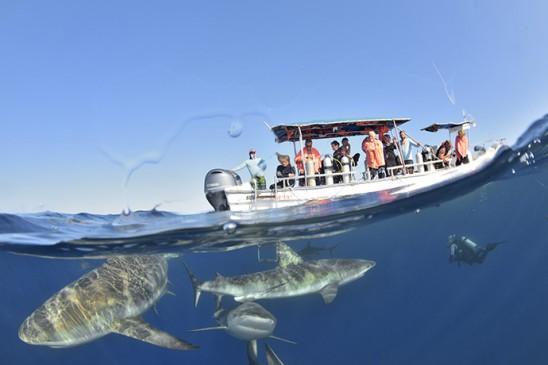 Plusieurs requins de récif des Caraïbes sous le bateau - Several Caribbean reef sharks under the boat