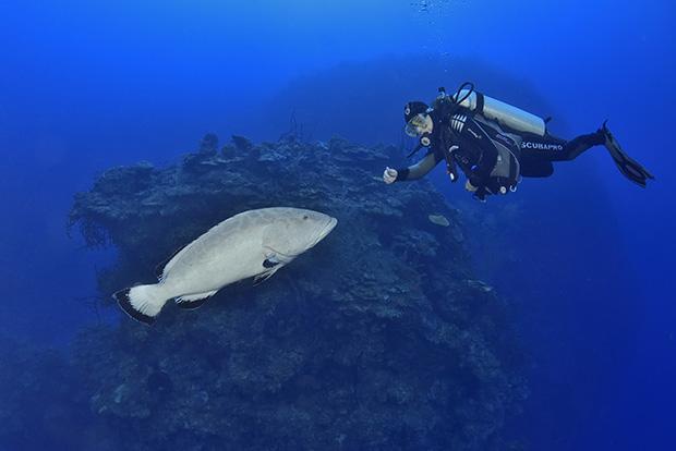 Un mérou noir ou badèche bonaci face à une plongeuse - A black grouper facing a diver
