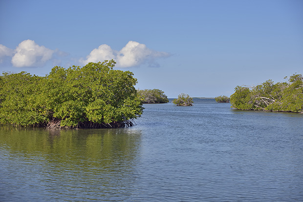 La mangrove - The mangrove
