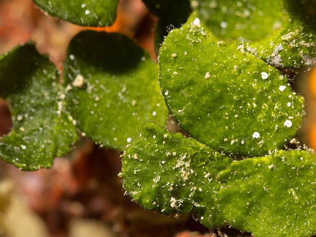 Les algues et la fabuleuse photosynthèse. Daniel_BURON copie