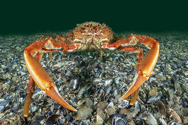 COPIE A14 Araignée de mer Atlantique - Maja brachydactyla