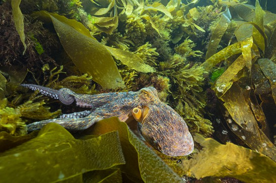 COPIE B12 Poulpe commun - Octopus vulgaris
