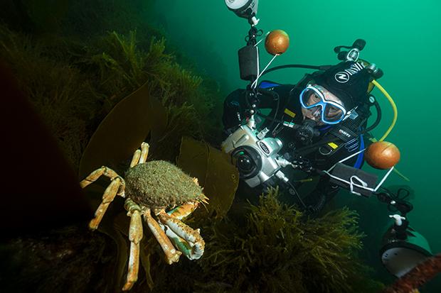 COPIE C16 Araignée de mer Atlantique - Maja brachydactyla